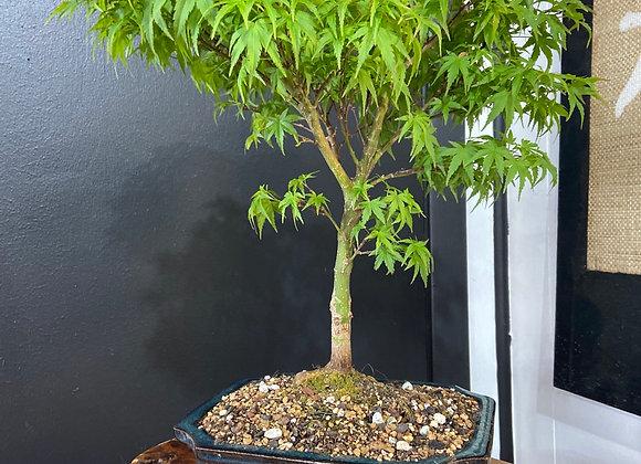 Sharps Pygmy Japanese Maple