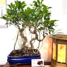 Tigerbark%20Ficus%20double%20trunk%20blu
