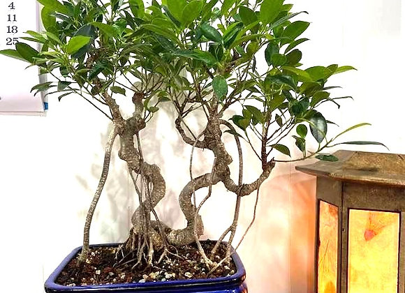 Tigerbark Ficus Bonsai Tree