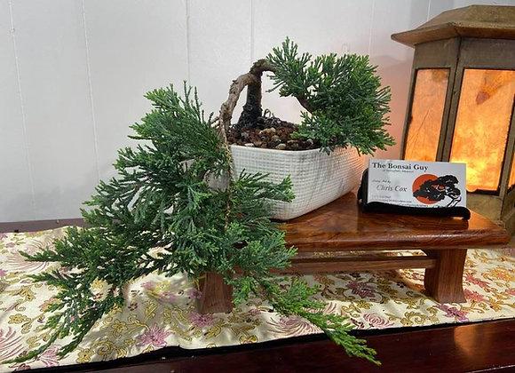 Blue Rug Juniper Bonsai Tree