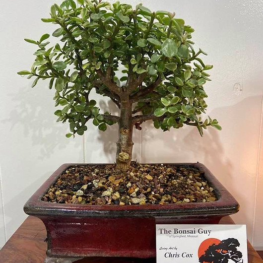Verigated Dwarf Jade red rect 1.jpg