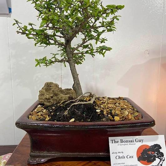 Nea Buxifolia red rect 1.jpg
