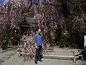 ジョンさんと桜.JPG