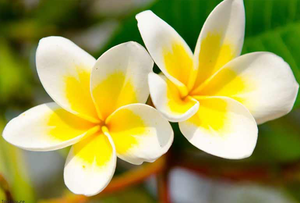Flor Tiaré-Polinésia Francesa