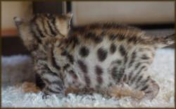 Cheetahsden Bruiser