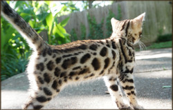 Cheetahsden Painted Oasis