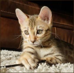 Bengal Kitten Cheetahsden Shayla