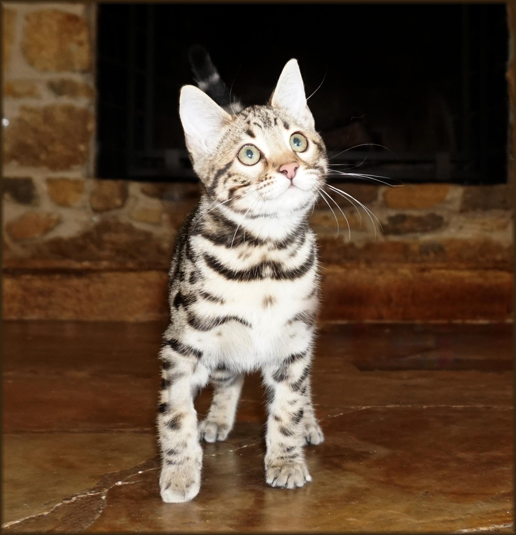 Bahiya Kimmi Spotted Bengal Kitten