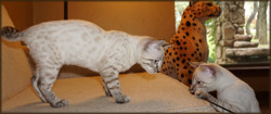 Cheetahsden Cosmo