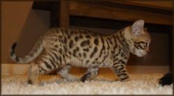 Cheetahsden Luma