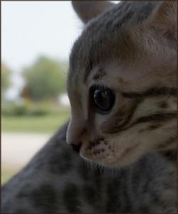 Cheetahsden Indigo