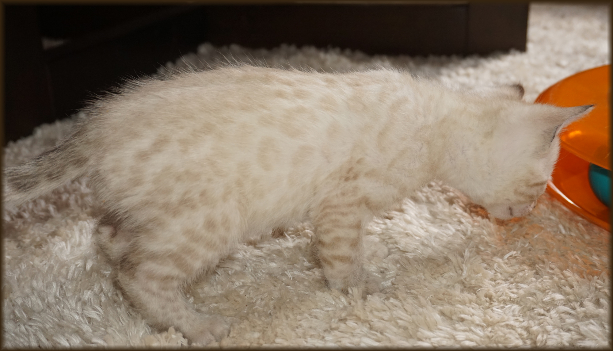 Cheetahsden Monty