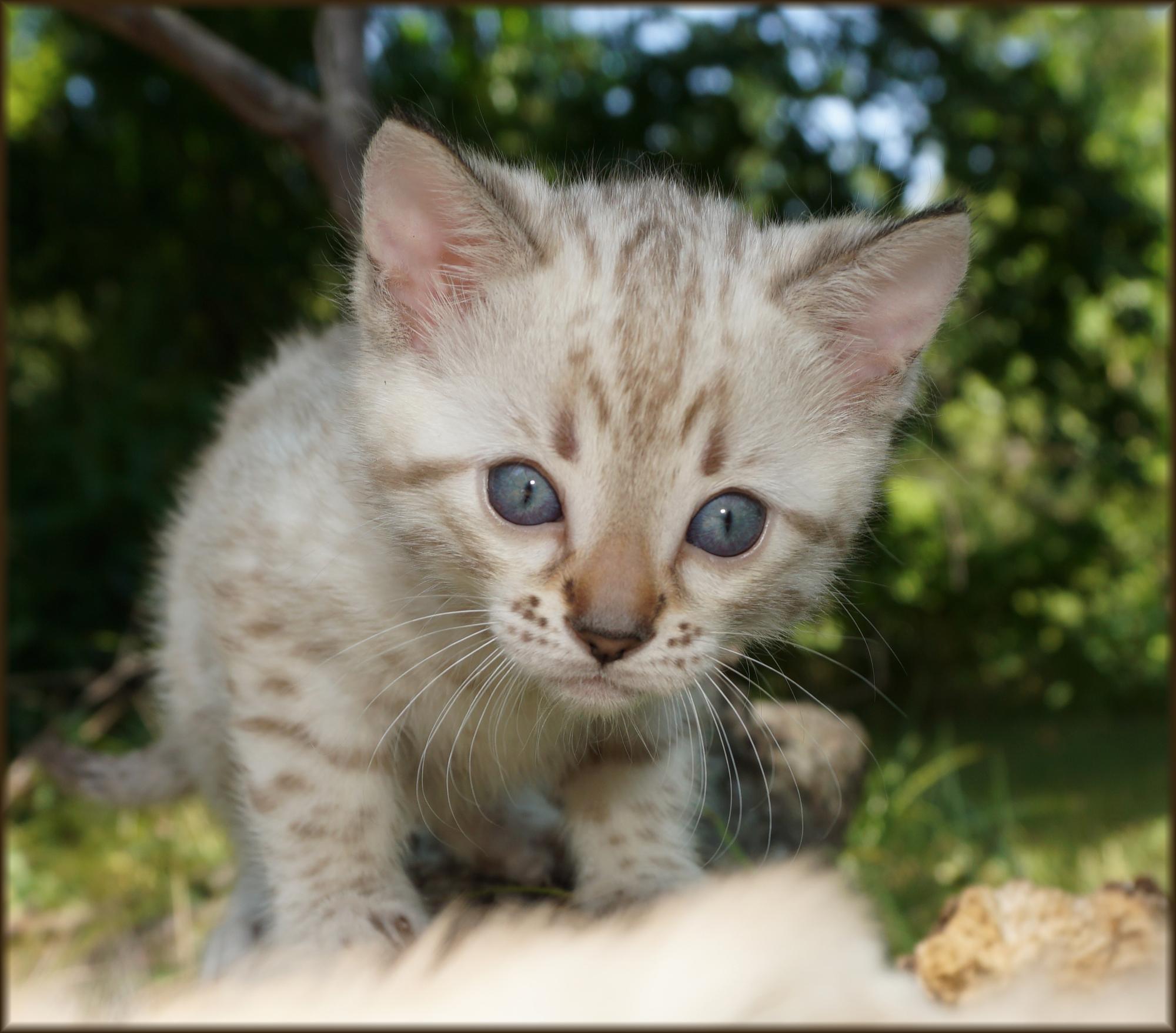 Cheetahsden Daisy
