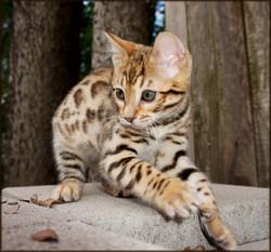 Bengal Cheetahsden Bengal Theo