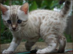 Cheetahsden Snowflake