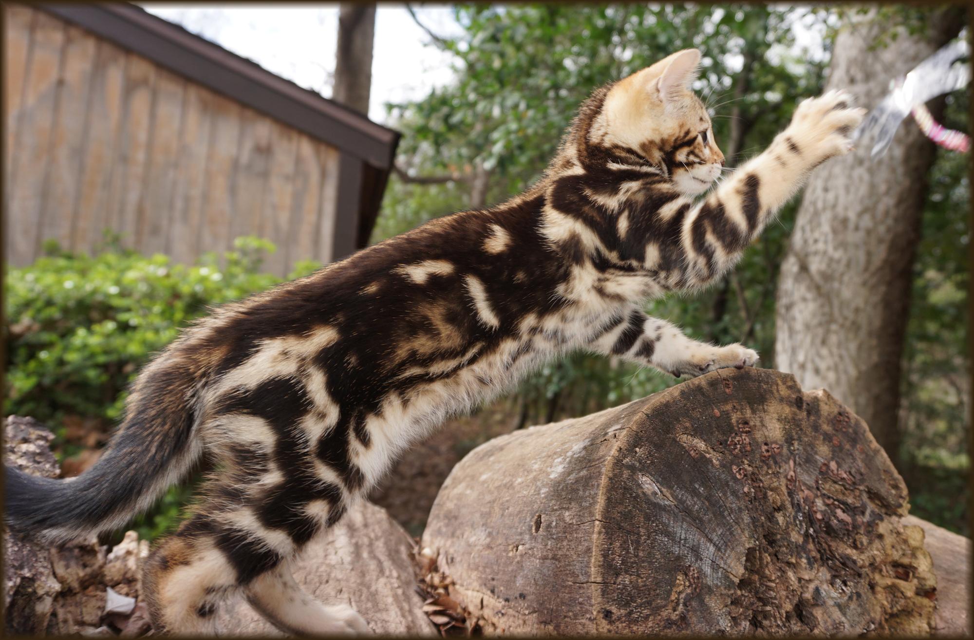 Bengal Cheetahsden Bengal Luna