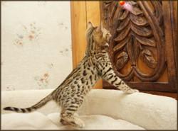 Cheetahsden Chevy