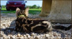Cheetahsden Bastet