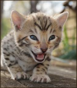 Cheetahsden Alex