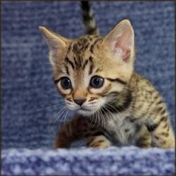 Cheetahsden Calista