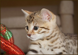 Cheetahsden Halo