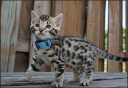 Cheetahsden Milo