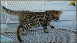 Cheetahsden Kinako
