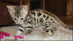 Bengal Cheetahsden Bengal Wow-7wks10
