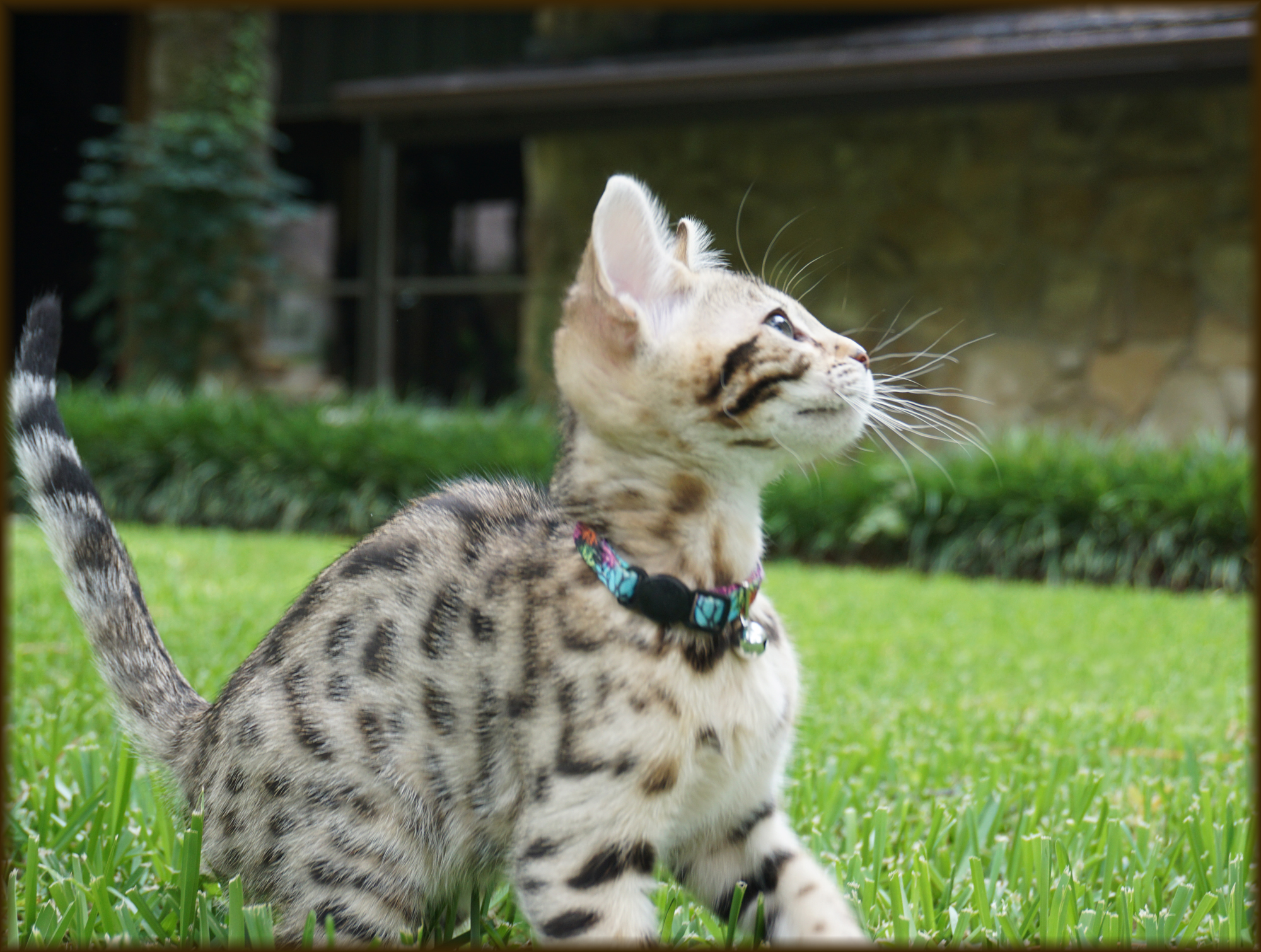 Cheetahsden Kai Yaki