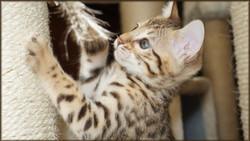 Bengal Cheetahsden Bengal Tao