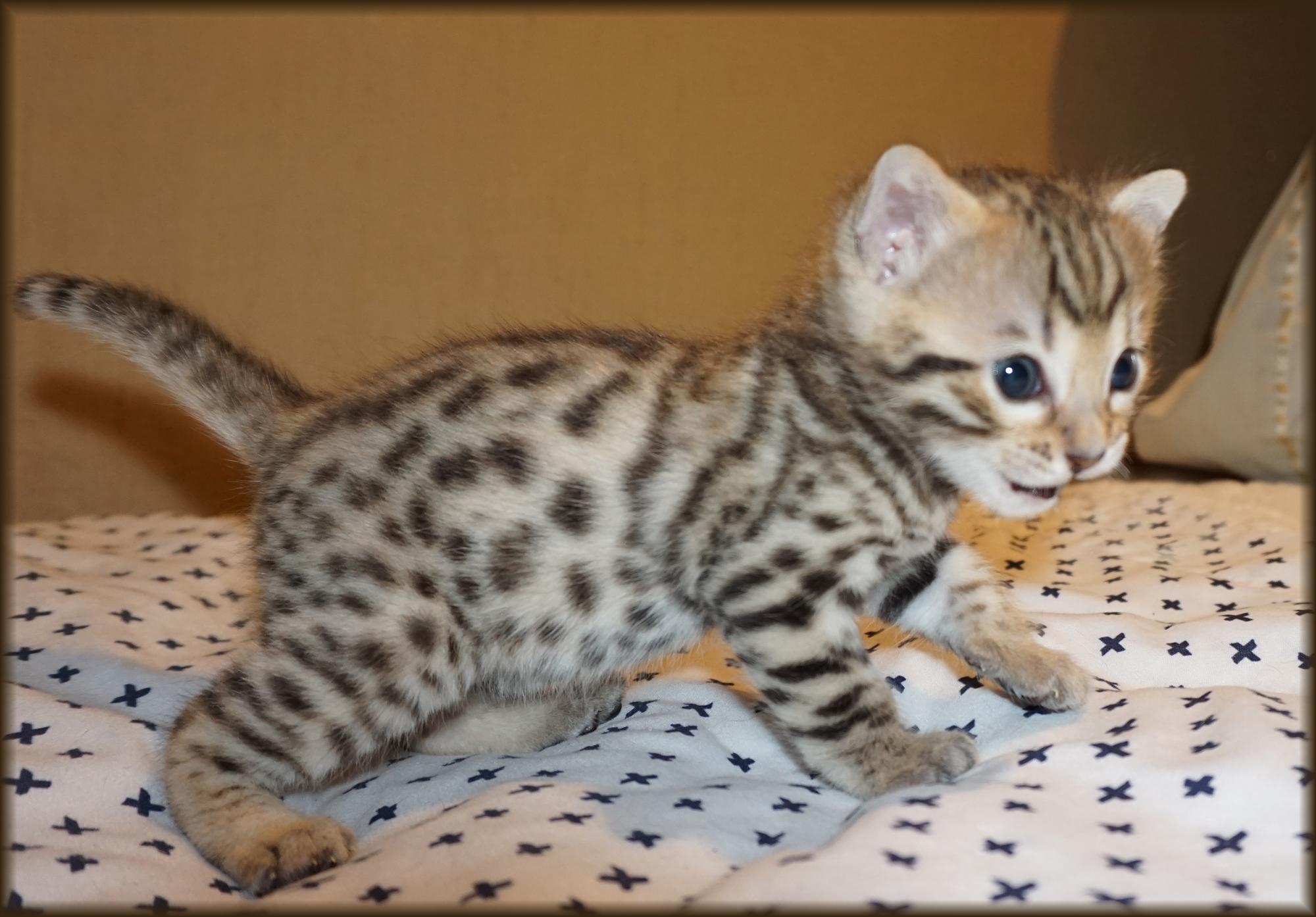 Cheetahsden Busby