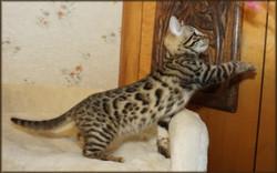 Cheetahsden Kyomi