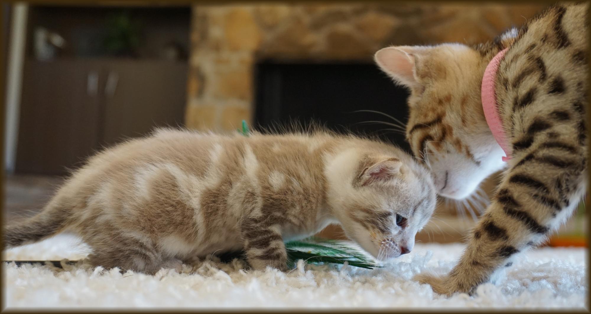 Cheetahsden Luma and Baby Kitten