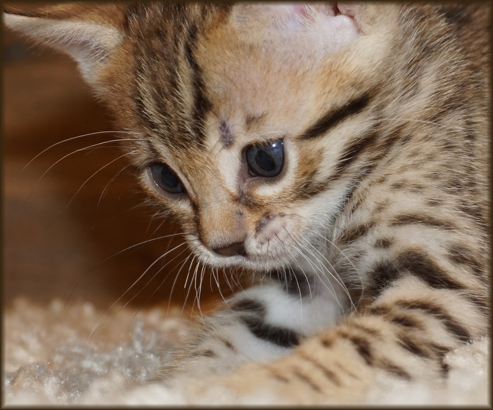 Cheetahsden Nala