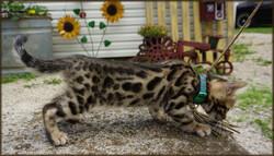 Cheetahsden Iversonn56
