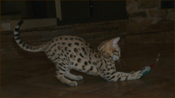 Cheetahsden Catkins Journey