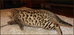 Cheetahsden Simba