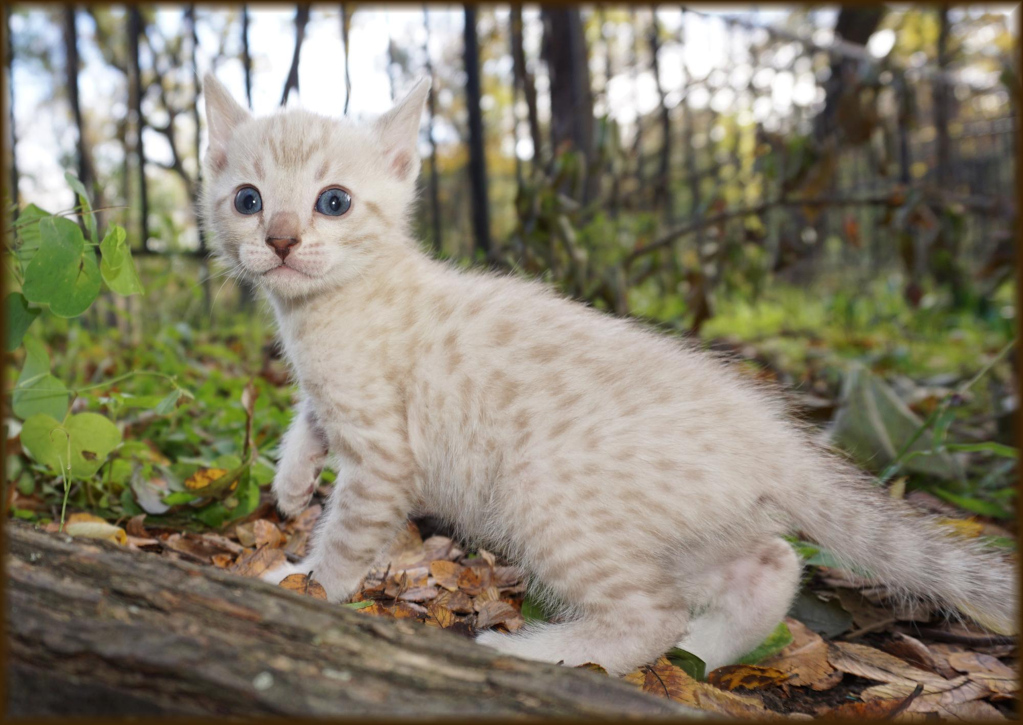 Cheetahsden Jungle Love