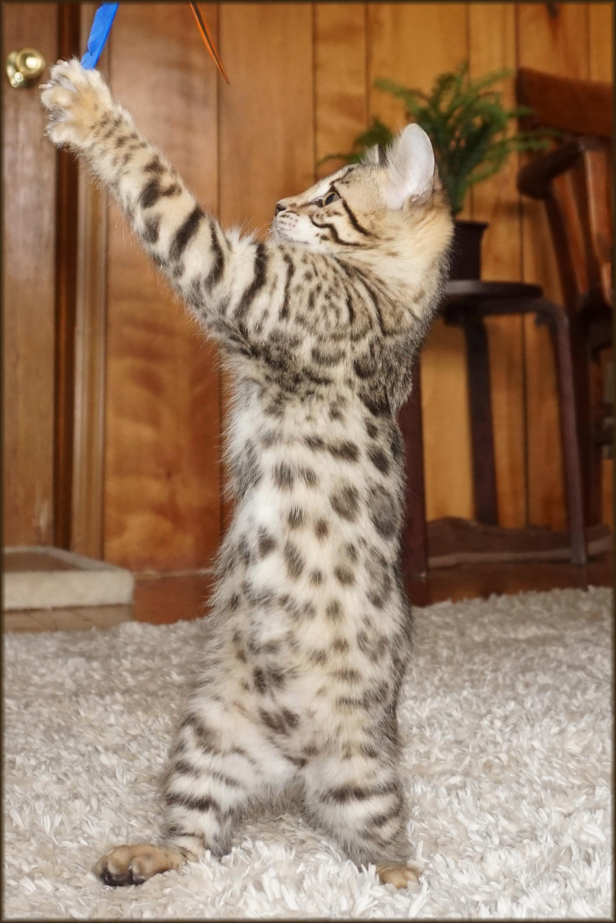 Cheetahsden Lily