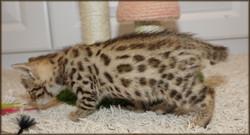 Cheetahsden Indy