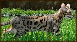 Cheetahsden Priya Shanti