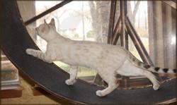 Bengal Cheetahsden Bengal Lenny