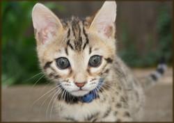Cheetahsden Drogon. O'Malley