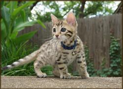 Cheetahsden Drogon