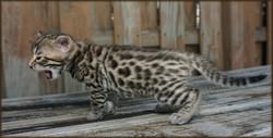 Cheetahsden Henry Daniel