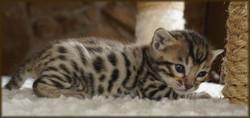Cheetahsden Zak