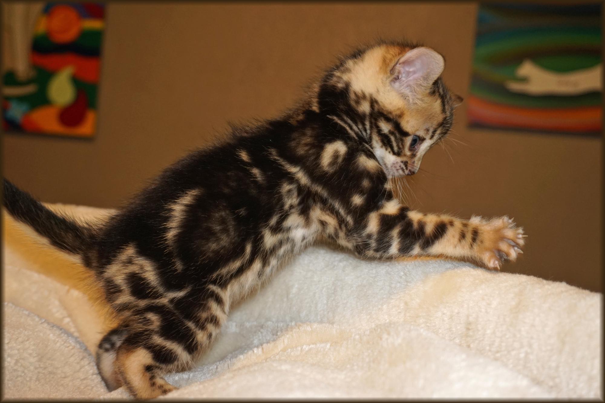 Cheetahsden Reina
