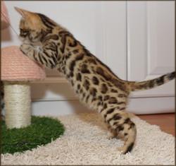 Cheetahsden Jace