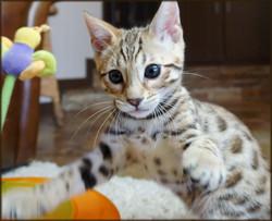Bengal Cheetahsden Bengal Oscar
