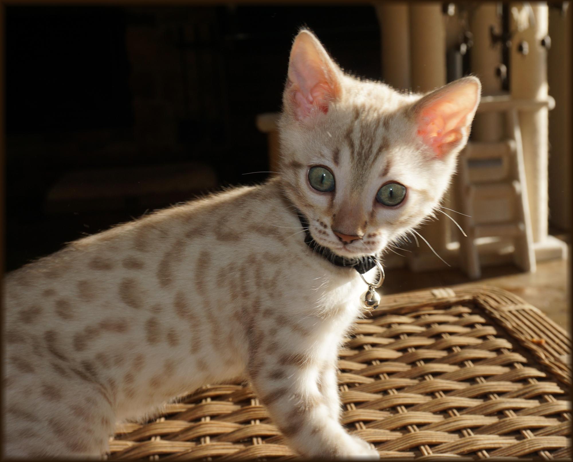 Cheetahsden Prince Gator
